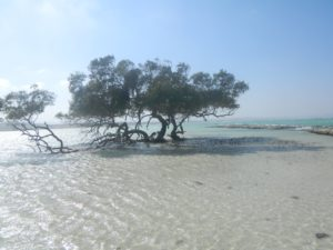 Mangrovia che spunta da un mare cristallino