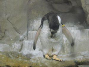 L'inchino del Pinguino (o meglio...si sta solo spulciando)