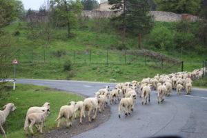 Fans-Pecore