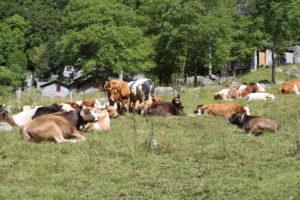 Mica sceme le mucche...