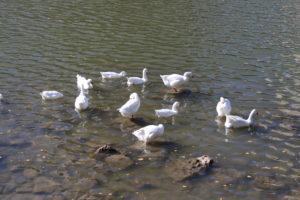 Pennuti nel fiume Pisuerga