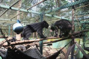 Cuccioli di Orso Nero Asiatico che giocano