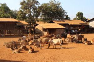 Villaggio del Bolaven Plateau - Animali
