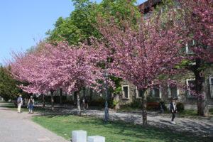 Strada piena di alberi in fiore