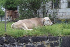 Mucca in centro ad Eschen