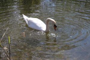 Un Cigno nel canale