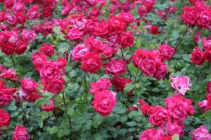 Esempio dei fiori in Piazza Cavour