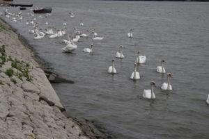 Cigni sul Danubio - 1