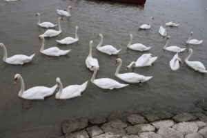 Cigni sul Danubio - 2