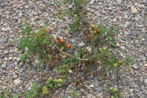 Pomodori nascono nel letto del fiume Ebro