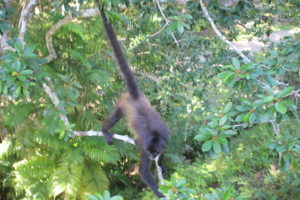 La Scimmia Urlatrice