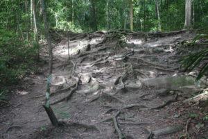 Parte di sentiero invasa dalle radici a vista