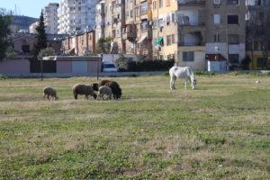 Il Cavallo Bianco e le sue amichette brucano in un parco pubblico