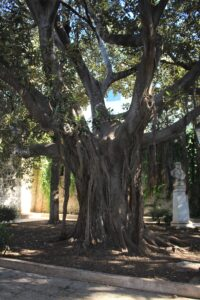Albero Monumentale nel Giardino Aretusa